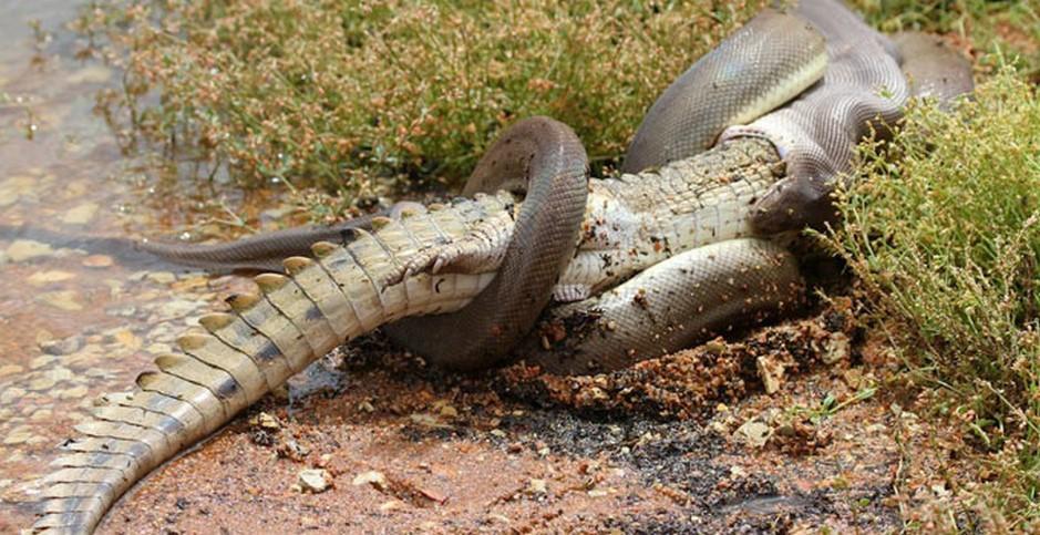 serpente-coccodrillo-australia