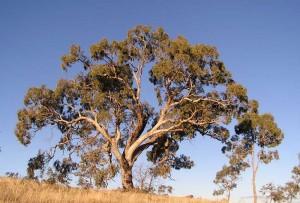 eucalipto-australia