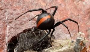 ragno dalla schiena rossa