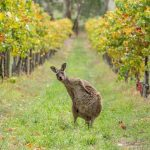 South-Australia-la-zona-vinicola