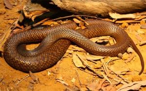 brown_snake