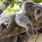 vivere-australia-koala