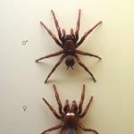 funel-web-spider-Atrax_Robustus