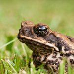 cane-toad-australia