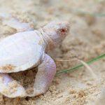 tartaruga-albina-australia