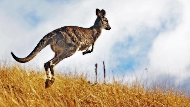 canguri-salto