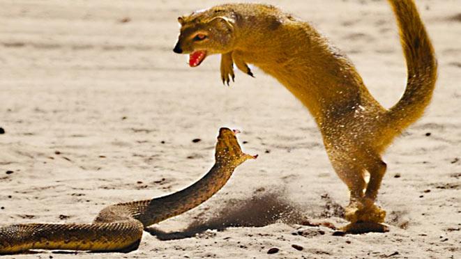 serpenti-australiani-attacco